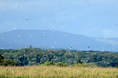 gulls at Longtown