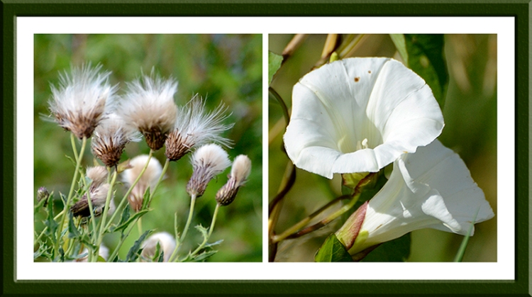 seed heads and convolvulus