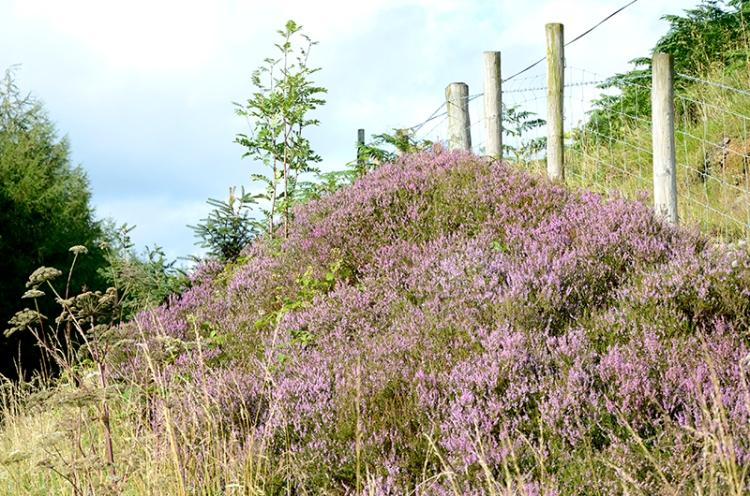 Bonnie purple heather