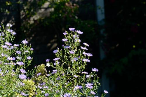 michaelmas daisies
