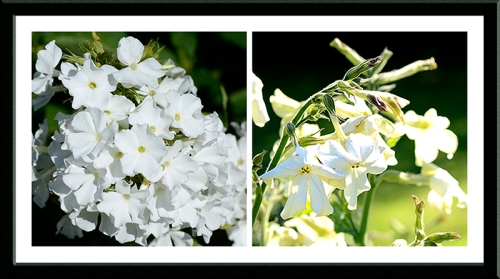 phlox and nicotiana