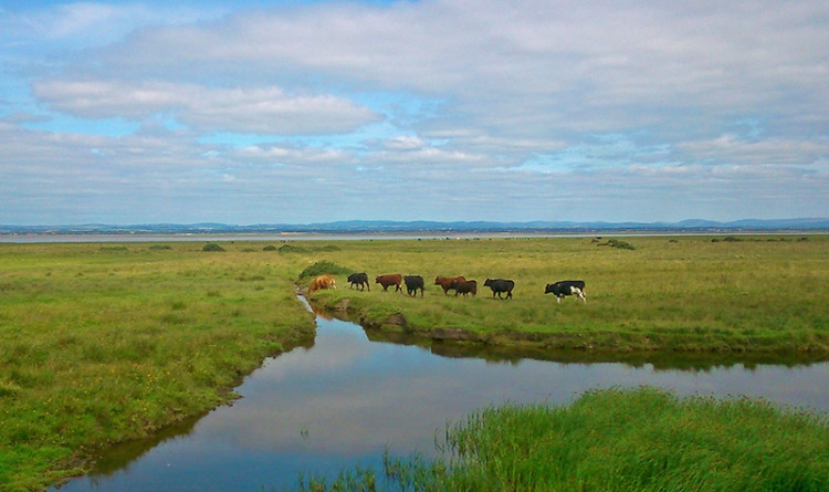 I had to stop to let these cattle cross the road and walk out onto the Solway shore