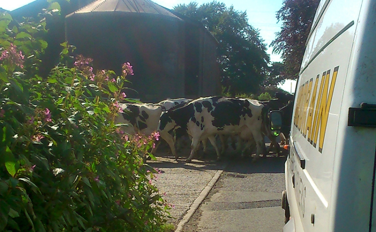 cows coming home
