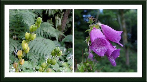 foxglove and bluebell