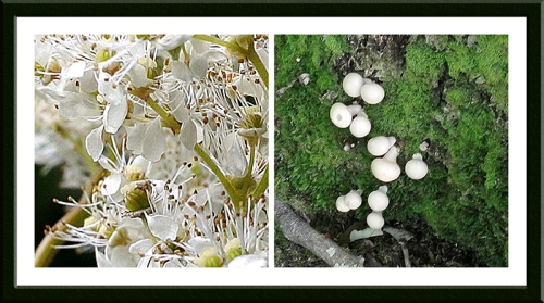 meadowsweet and fungi
