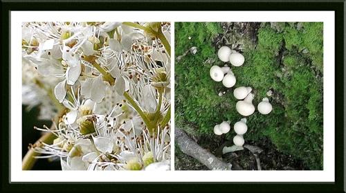 meadowsweet and fungi