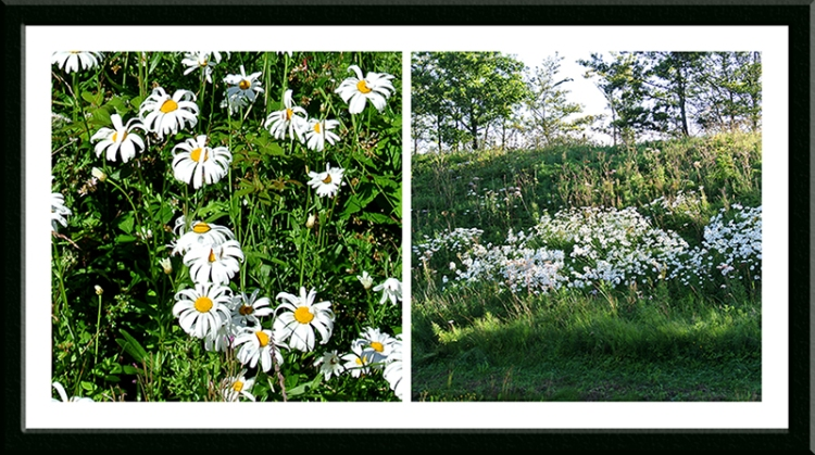 by-pass daisies
