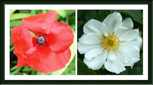 poppy and anemone