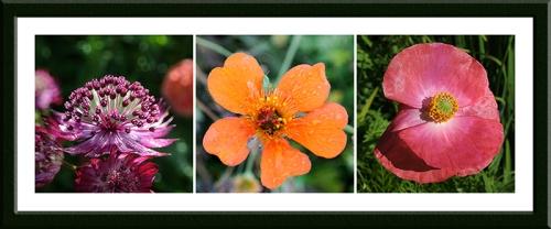 astrantia, geum and poppy