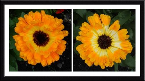 soggy marigolds