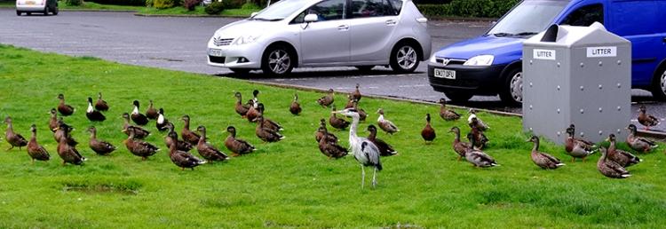 Mr Grumpy and ducks