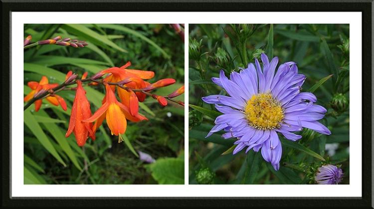 orange crocosmia and Michaelmas daisies