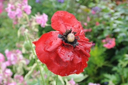 soggy poppy