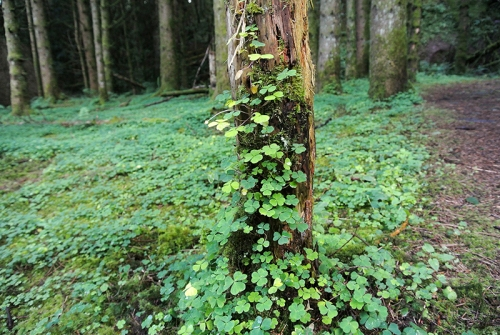 tree with oxalis