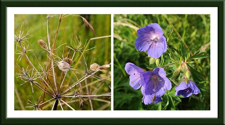 seed head and geranium