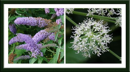 buddleia and umbellifera