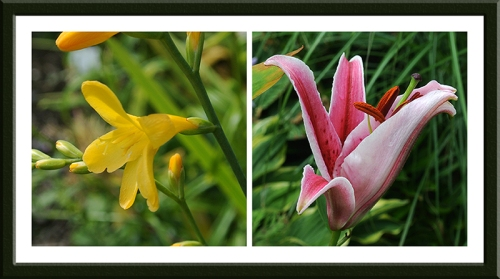 yellow crocosmia and lily