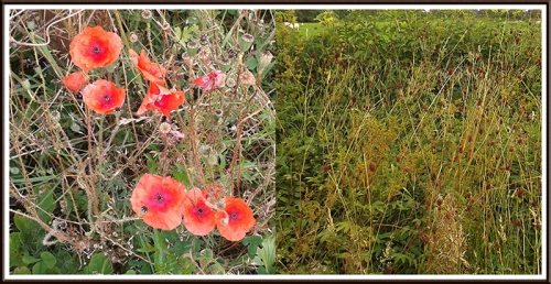 poppies  and Burnet