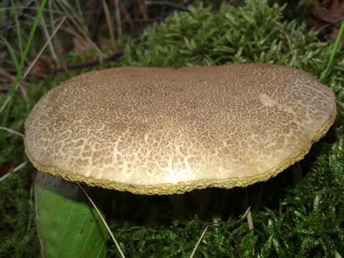 Barngliesh fungus