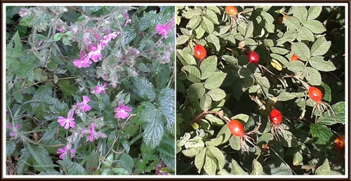 campion and rose hips
