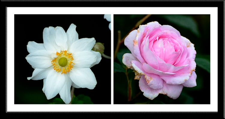 anemone and rose