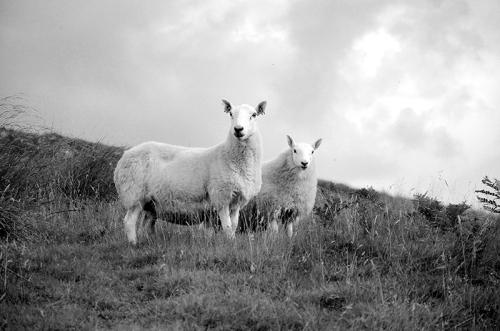 Tarras sheep