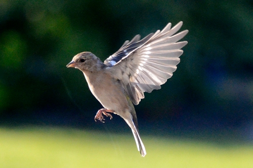 flying in chaffinch