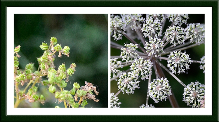 meadowsweet and umbellifera