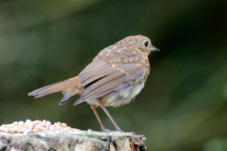 possible robin