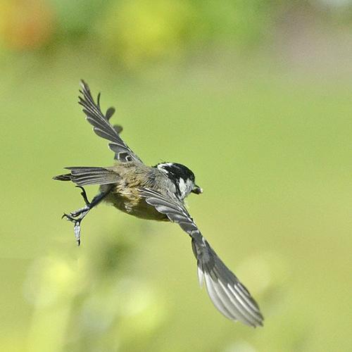 flying coal tit