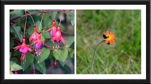 fuschsia and orange hawkweed