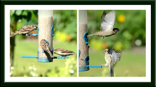 sparrows and chaffinch