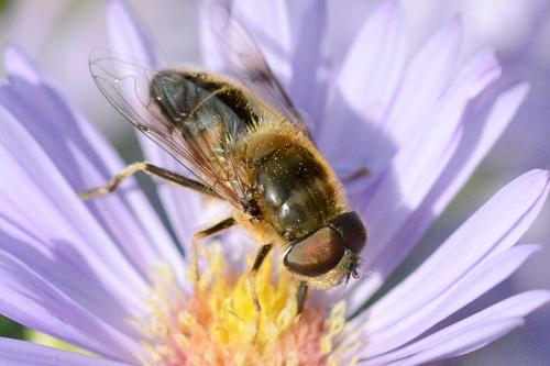 Michaelmas daisy with bee