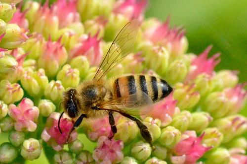 sedum with hoverfly
