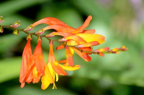 orange crocosmia