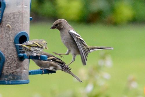 bird approaching feeder