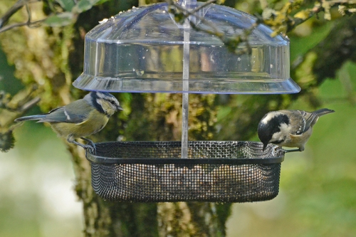 blue tit and coal tit