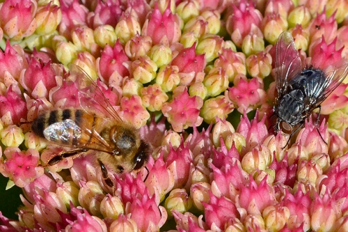 sedum with insects