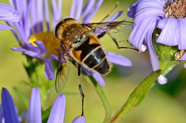 Michaelmas daisy with insect