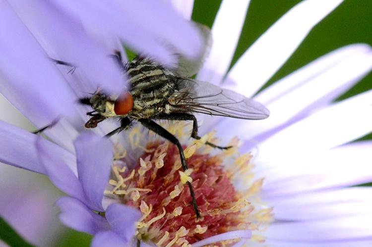 Michaelmas daisy with fly