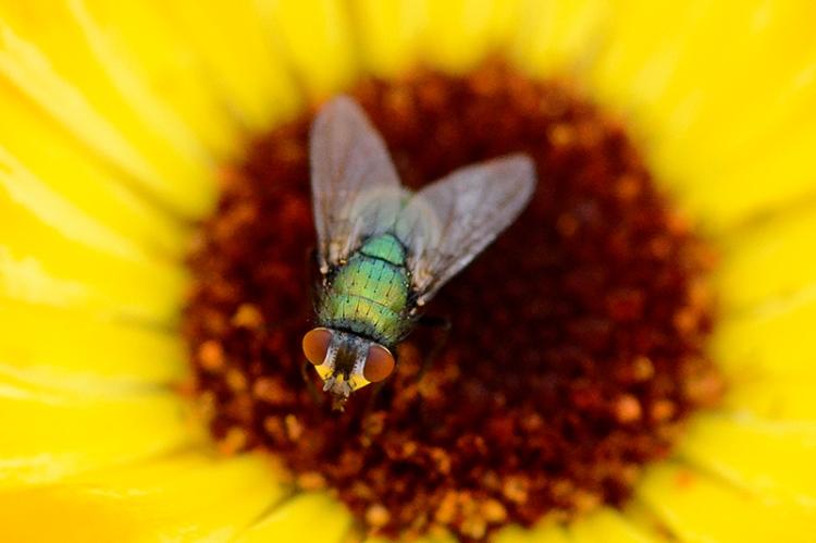 bug on marigold