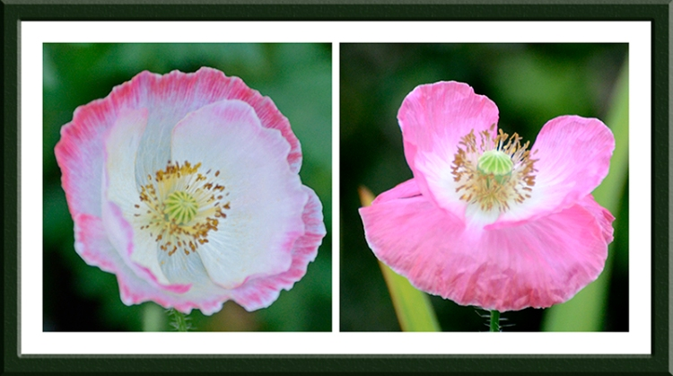 pink poppy parade