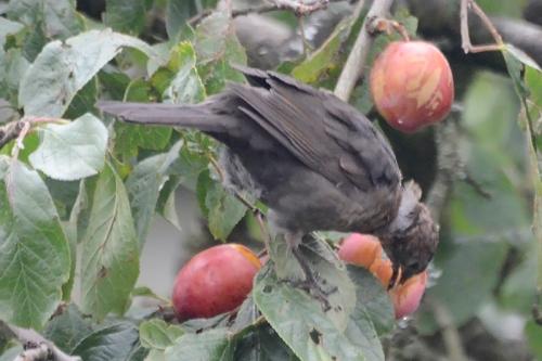 blackbird and plum