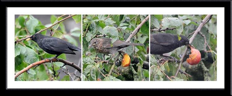 blackbirds and plums