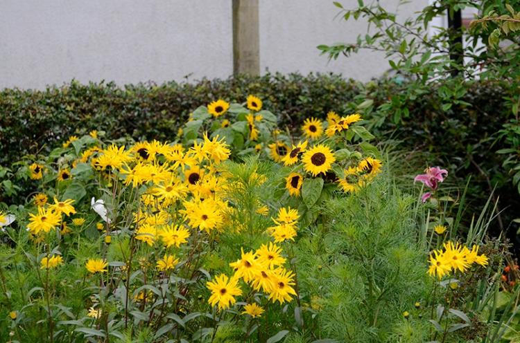 rudbeckia and sunflowers