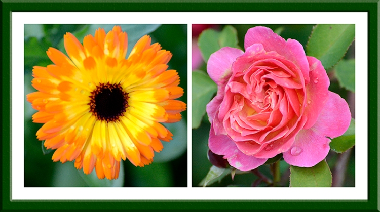calendula and rose