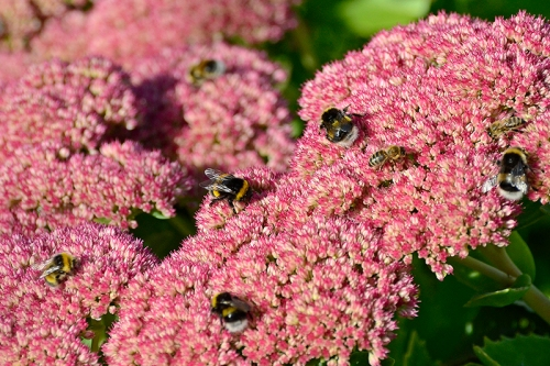 sedum and insects