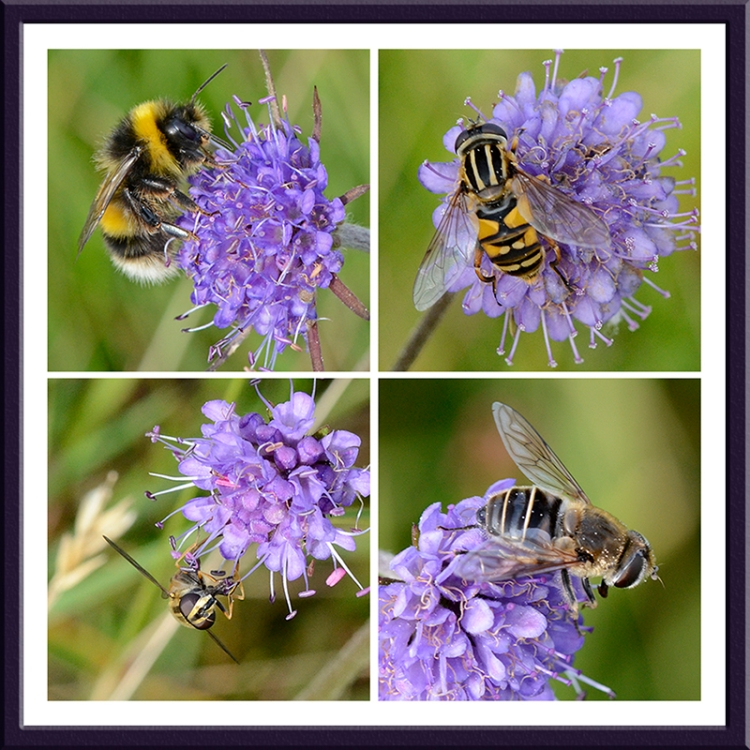 scabious and insects