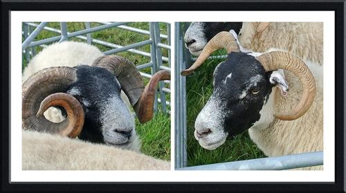benty sheep