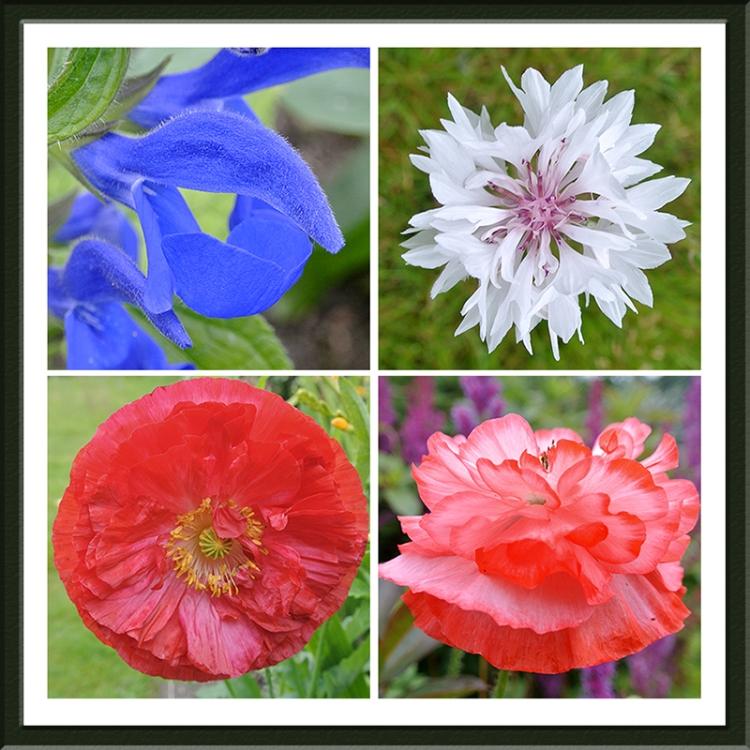 salvia, cornflower and poppies